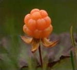 Cloudberry.jpg