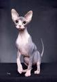 chat sans poils.jpg