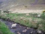 Mouton ruisseau.jpg